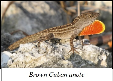 Norops sagrei or Cuban brown anole