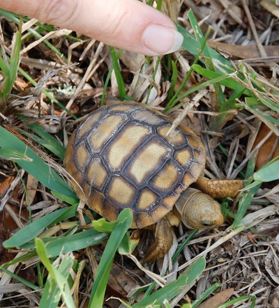 Baby Gopher Tortoise