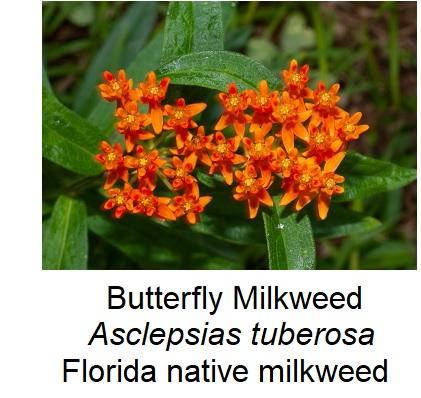 Butterfly Milkweed, Florida native