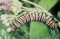 Caterpillar of the Monarch Butterfly