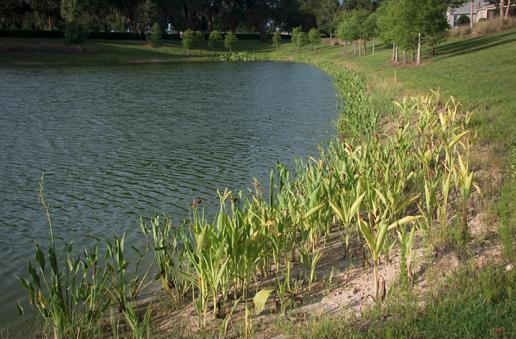 June plantings on pond edge.