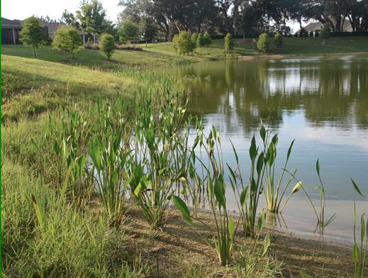 Pond edge plantings thevillages for Plants around ponds