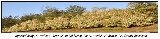 Walter's Viburnum (Viburnum obovatum)