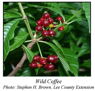Wild Coffee Psychotria nervosa