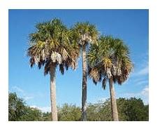 Sabal Palm: Florida State Tree